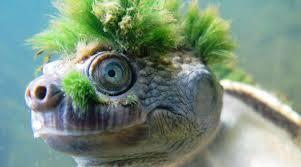 imagenes tortugas verdes la tortuga de pelo verde en peligro de extinción