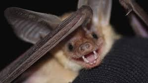 national bat week culminates in halloween as some in town contend
