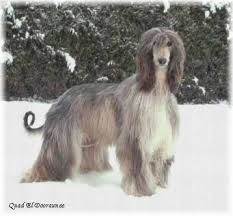 afghan hound judith light 124 best sighthounds images on pinterest greyhounds italian