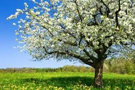 9306606 blossoming tree in spring on rural meadow file