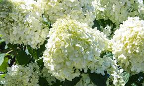 flower hydrangea why won t my hydrangea bloom rice road greenhouses