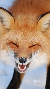 sleeping red fox wallpapers best 25 fox pictures ideas on pinterest foxes cute fox and red