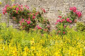 Yellow Climbing Flowers - pink climbing roses and yellow flowers in an english garden stock