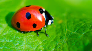 Pictures Of Tiny Red Bugs by Ladybug Leaf Ngsversion 1396530840848 Jpg