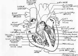 anatomy of the heart answers heart homework ks2 human anatomy chart
