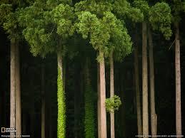 cedar trees in japan from national geographic cedar trees