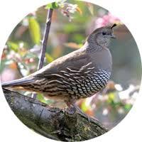California Backyard Birds by Safflower