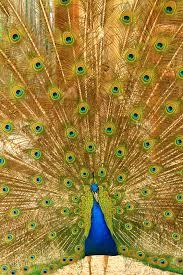merak hijau gambar burung sayap hijau fauna galliformes simetri