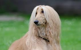 afghan hound ireland lab mix labrador cross breeds the labrador site