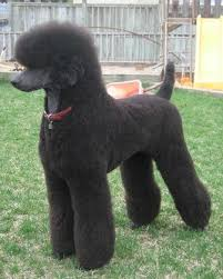 different toy poodle cuts poodle cuts pictures of different poodle cuts poodle forum