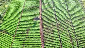 aerial view of asparagus plantation or vegetable garden stock