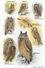 plate 35 owls a field guide to birds of armenia acopian