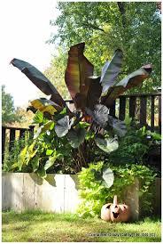 Tropische Pflanzen Im Garten Die Besten 25 Red Banana Tree Ideen Auf Pinterest Tropischer
