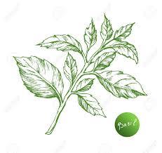 feuille de cuisine basil dessin vectoriel feuilles de basilic isolé herbal style