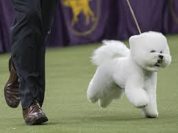bichon frise desk calendars win like flynn a bichon frise is this year s top dog at westminster