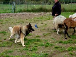 belgian malinois herding 2012 herding dog breeds pictures and information