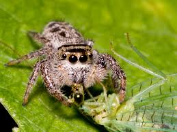jumping spider baby