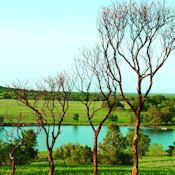 manzanita branches for sale dried manzanita branches bulk manzanita trees