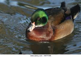 duck breed stock photos duck breed stock images alamy