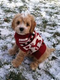 23 best max the puppy images on cockapoo