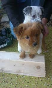 australian shepherd 3 mesi miracle 3 month old female cross breed cutedogs cute dogs dog