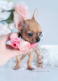 puppies for sale teacup chihuahuas and chihuahua puppies for sale by teacups