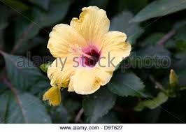 hibiscus flower with yellow butterfly caribbean