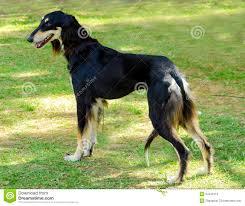 afghan hound dog images black afghan hound dog stock photos images u0026 pictures 132 images