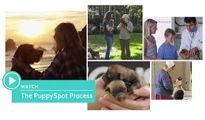 affenpinscher alberta about puppyspot com puppyspot