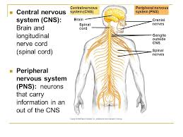 overview of neurons synapses u0026 nervous system ppt video online