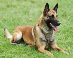 belgian shepherd vs pitbull top 10 best guard dogs best protection dogs