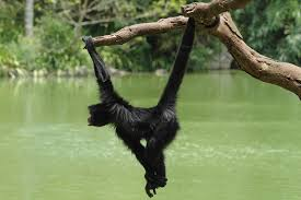primates images swinging monkey hd wallpaper and background photos