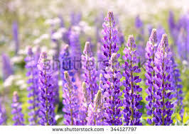 Purple And Blue Flowers Lavender Flower Close Field Provence France Stock Photo 261949661