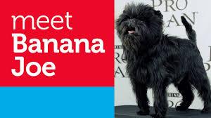 affenpinscher at westminster pet lovers meet banana joe 2013 best in show u0027s return visit to