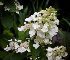 white hydrangeas tardiva white hydrangea for sale online the tree center