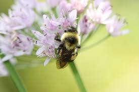 pollinators of native plants uvm research helps make a case for listing native bumble bee as