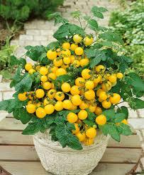tomato patio choice yellow f1 all america selections