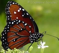 danaus gilippus cramer 1776 butterflies and moths of