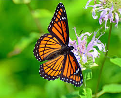 the harmful effect of herbicides on the habitat of monarch butterflies