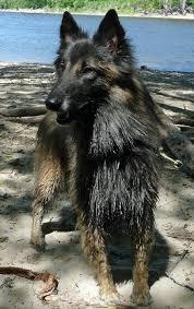 belgian shepherd washington state brice the belgian tervuren dogs daily puppy