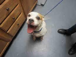 boxer dog rescue view ad bull boxer dog for adoption ohio bowling green usa