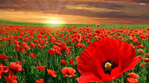 poppy flower wallpaper 1920x1080 78381