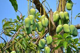 Mango Boom mango op boom thailand stock foto afbeelding bestaande uit azi祀
