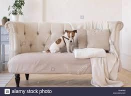 levrette sur canapé style photos style images alamy