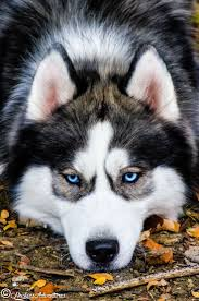 Husky 2 Ton Jack by 385 Best Huskies Husky Mix Images On Pinterest Siberian Huskies