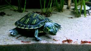 Texas Map Turtle Fish Tank Unbelievable Map Turtle Tank Size Images Concept