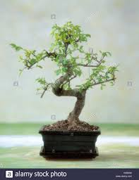 bonsai plant potted plant room plant ornament plant tree