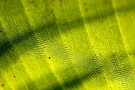 banana leaf wallpapers hd u2013 wallpapercraft