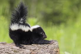 taos bark here come the skunks the taos news