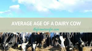 Backyard Dairy Cow Average Age Of A Dairy Cow The Farmer U0027s Wifee